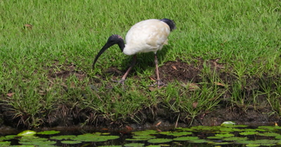 Australian White Ibis feeding goes to drink