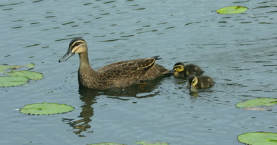 Pacific Black Duck feeding with chicks in pond
