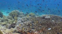 Finger Corals, Staghorn Coral, Reef Fish