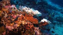Hard Coral