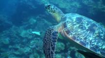 Green Turtle, Sea Turtle Swimming Along Drop Off