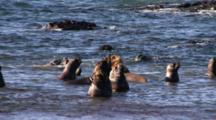 Young Sea Lion Bulls Entering The Water