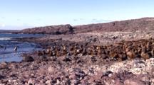 Sea Lion Bull Colony On The Beach, Pan Lr