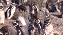 Juvenile Magellanic Penguin Molting And Vocalizing
