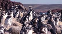 Magellanic Penguins Paying Attention