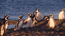 Magellanic Penguins At Sunset
