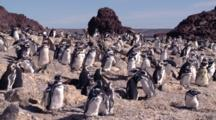 Magellanic Penguin Colony On Cliff