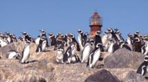Magellanic Penguins With Lighthouse, Pan Lr