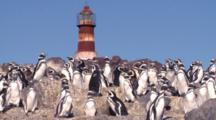 Magellanic Penguins With Lighthouse, Static