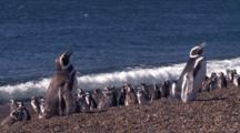 Magellanic Penguins On The Beach, Lying Down