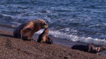 Sea Lion Mother Throws Pup Through The Air
