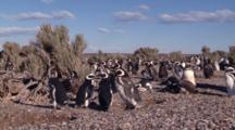 Magellanic Penguin Nesting, Pan Rl