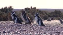 Magellanic Penguins Walking Over Beach, Feathers Flying