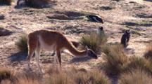 Guanaco Feeding, Penguinsin The Background