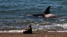 Orca Attack, Misses The Sea Lion Pup, Gets Stuck But Frees Himself.