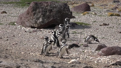 Magellanic penguins walking on pebble beach,medium