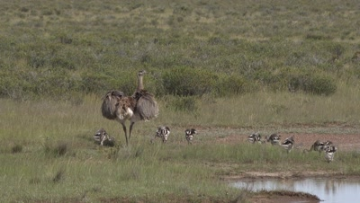 Lesser rhea with chicks,spreads wings