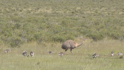 Lesser rhea with many chicks crossing frame,medium shot