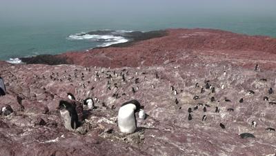 Rockhopper Penguin colony,wide shot