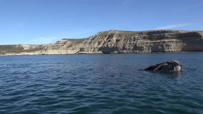 Southern right whale mother and white calf,surfacing in bay
