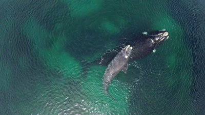 Southern right whale calf resting on mother,bird attacks calf