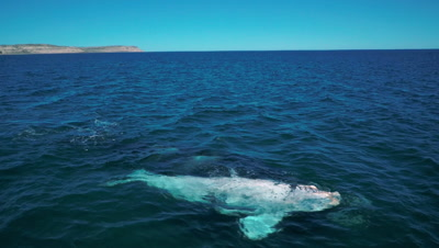 Southern right whale cow with white calf,swimming
