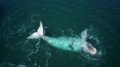 Southern right whale white calf,tossing and turning in the water