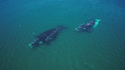 Flight over southern right whales,2 cows with their calfs,one white calf