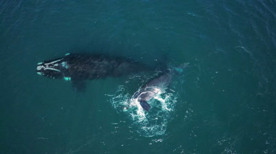 Southern right whale cow with calf,calf bashing fluke