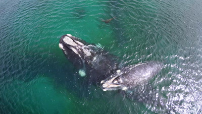 Southern right whale baby resting on mother,seal swimming by