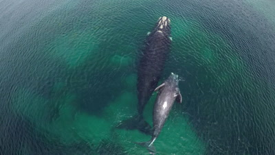 Southern right whale cow with calf,swimming left to right