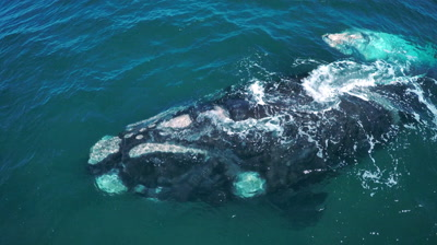 Southern right whale cow with white calf,swimming,diving and cuddling,medium to close