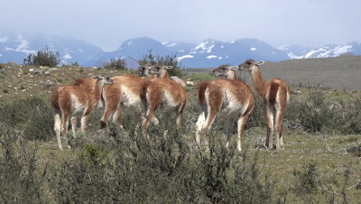 Herd of Guanacos in front of snowy mountains
