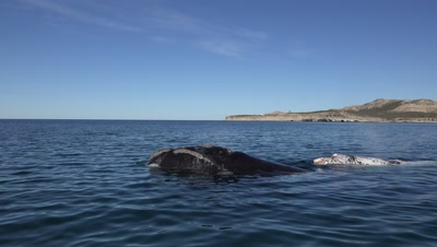 Southern right whale cow and white calf,swimming in the bay