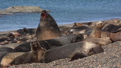Sealion colony,bull yawning on the beach