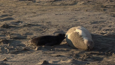 Southern Elephant seal baby nursing