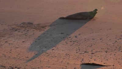 Elephant seal creates shadow at sunrise on the beach,steamy breath