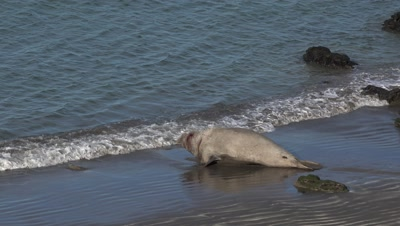 Elephant seal bull defeated,entering water