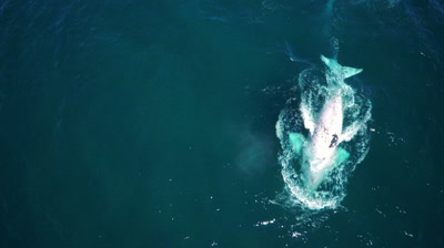 Southern right whale,white calf diving and breaching