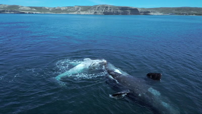 Southern right whale cow and white calf,camera swings around and shows the bay and whale watching boats