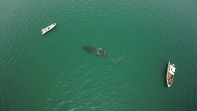 Southern right whale cow and calf,swimming between 2 whale watching boats