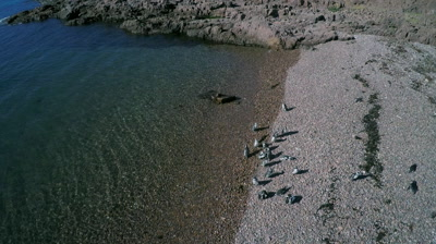 Magellanic penguins landing on pebble beach,leaving the water,Cabo dos Bahias