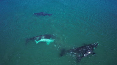 Southern right whale,3 mothers with their calf,1 white calf tossing and turning in the water,medium to wide shot