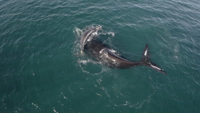 Southern right whale calf resting on mothers body,medium to close shot