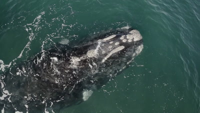 Nice head shot of southern right whale calf,floating in the shallow water