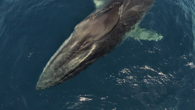 Fin whale ( finback) diving under camera,medium to close topshot,Pico Island Azores,slow motion 50fps