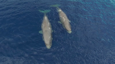 Pod of 5 sperm whales travelling,medium wide topshot