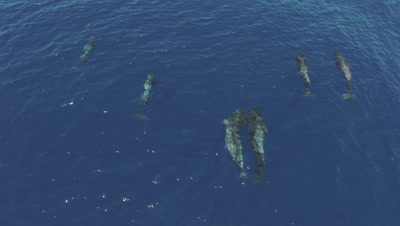 Pod of 5 pilot whales travelling,wide to medium topshot