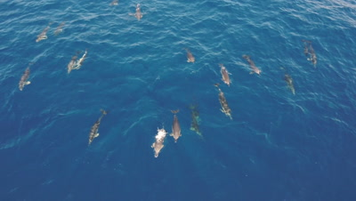 Pod of common dolphins travelling,topshot