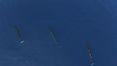 Two sei whales swimming in the blue ocean,wide top-shot